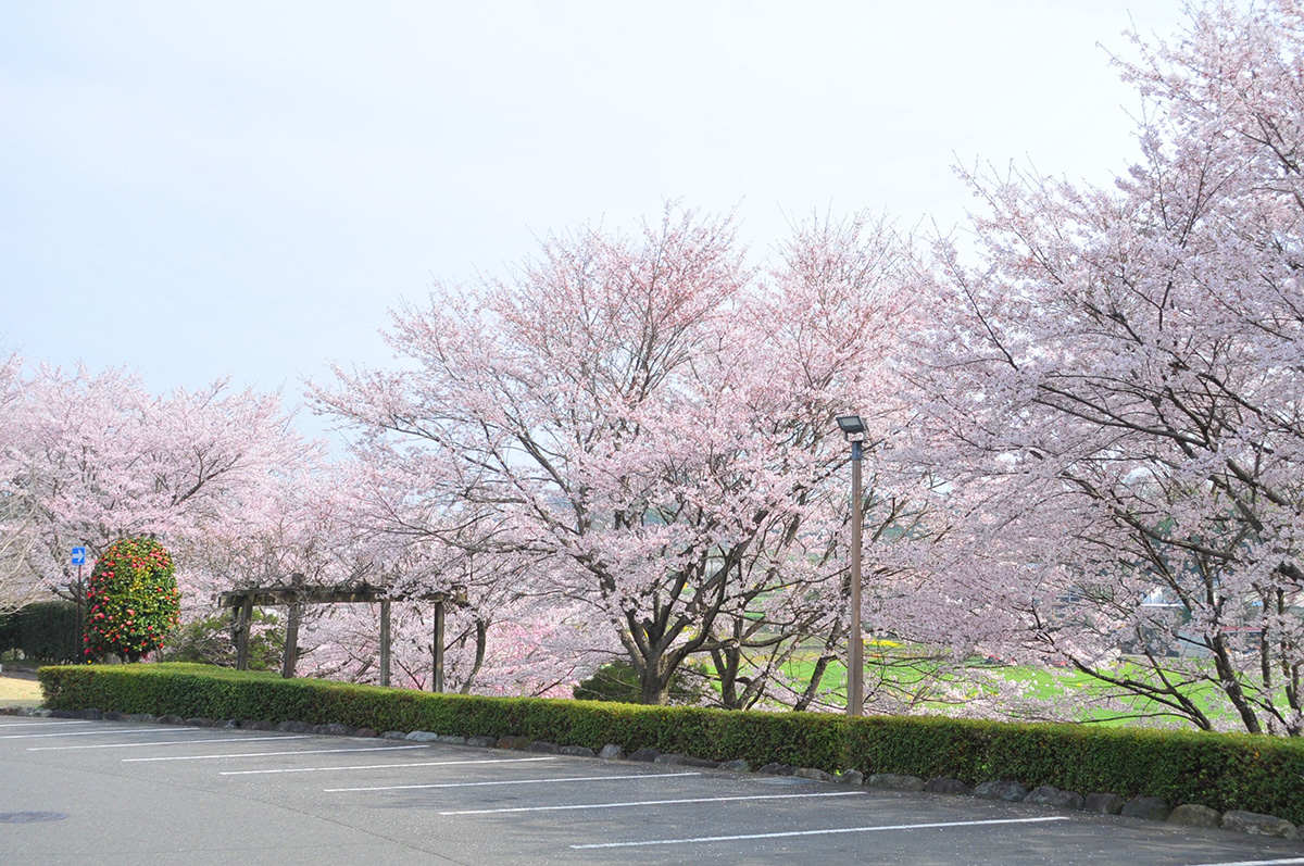 道の駅たかねざわ 桜